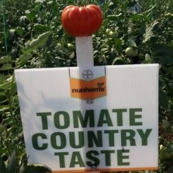 Tomate nedeterminate Country Taste F1