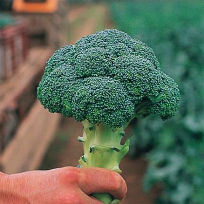 Broccoli CHEVALIER F1