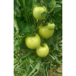 Tomate nedeterminate HONEY MOON F1