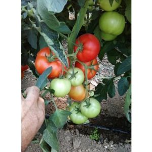 Tomate nedeterminate OASIS F1